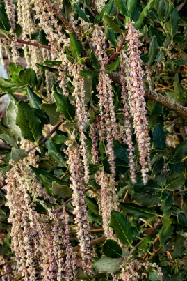 Garrya elliptica 'Evie' (Coast Silk Tassel) in bloom in February