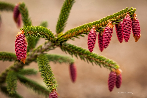 Wine red female cones drip off the branches of Picea orientalis 'Early Gold' in spring.