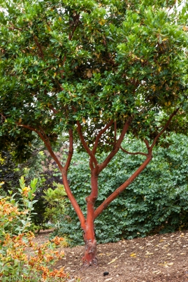 Madrone, broadleaved evergreens