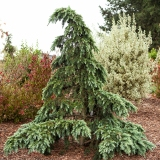 Deodara cedar, conifers, evergreen shrubs