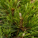 Pinus x schwerinii 'Wiethorst' (close up)