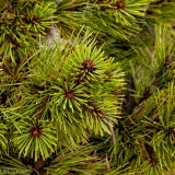 Pinus ponderosa 'Tasha' - close up