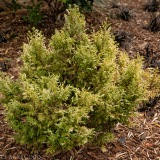 yellow conifer