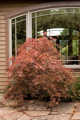 Japanese maple, maroon foliage