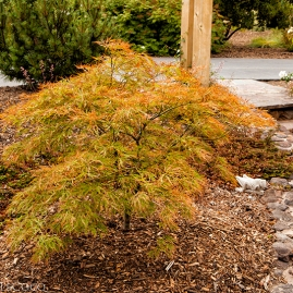 Japanese Maple, Otto Quasti