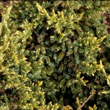 Juniperus squamata 'Dream Joy' (close up)