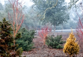 Coral bark maple, red stem maple, gold conifers, California buckthorn