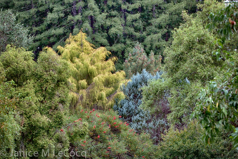 Color combinations of conifers