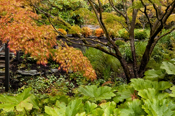 gunnera, Japanese maples