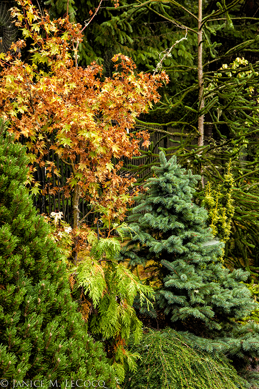 evergreen foliage, conifers, designing with foliage plants