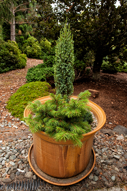 conifers in containers, container gardening
