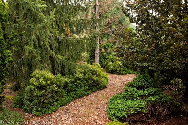 evergreen foliage, conifers, foliage gardening