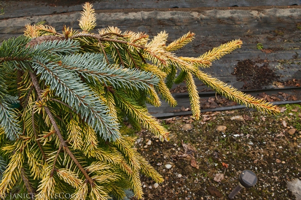 grafted conifers, evergreen foliage, gold conifers, blue conifers