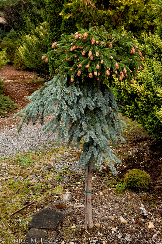 grafted conifers