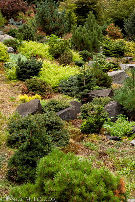 dwarf conifers, evergreens, foliage gardening