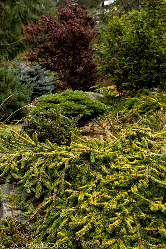 gold foliage evergreens, golden conifers