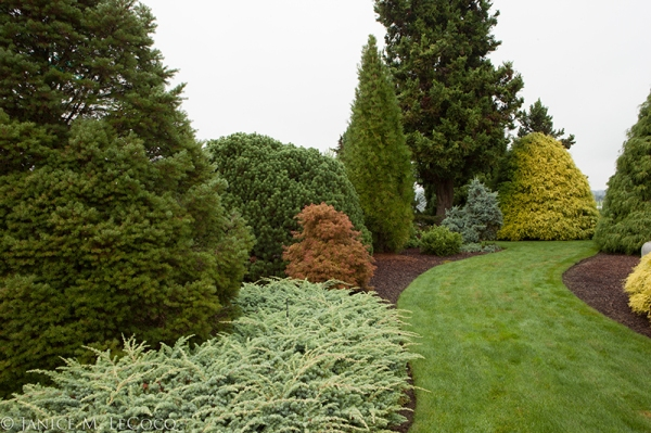 conifers, evergreens, Iseli Nursery