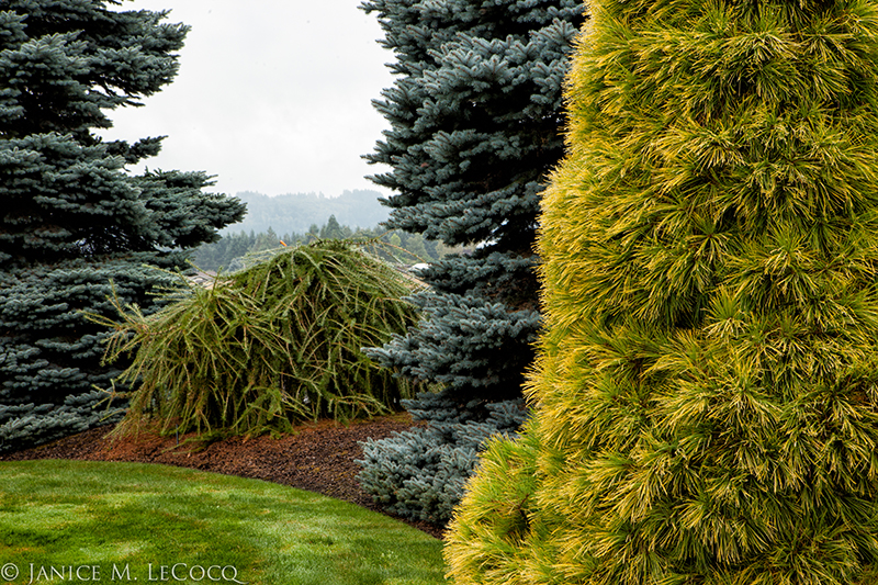 Iseli Nursery, colored foliage, conifers, gold foliage, blue foliage