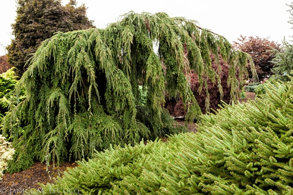 conifers, Iseli Nusery, weeping conifers