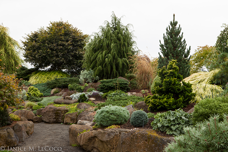 conifers, winter garden, colored foliage, evergreens, Iseli Nursery