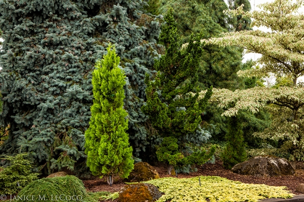 variegated dogwood, Iseli, conifers, colored foliage