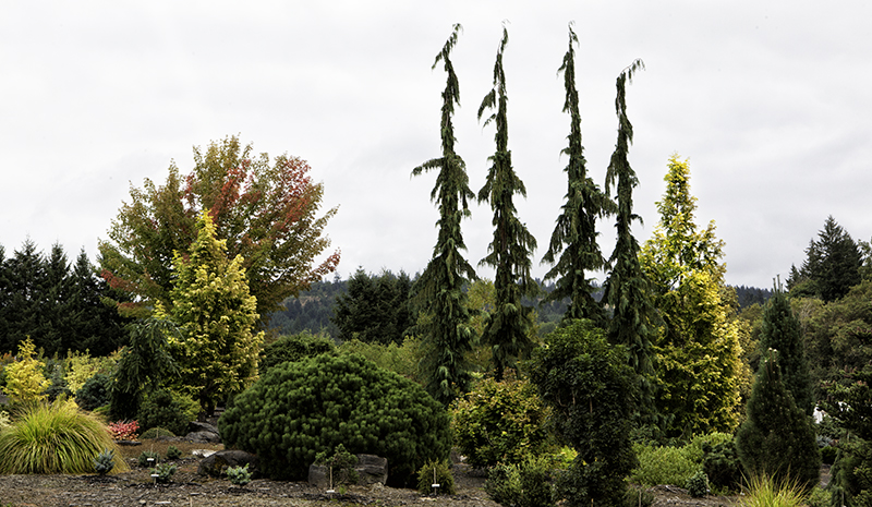 conifers, evergreen plants, Buchholz & Buchholz