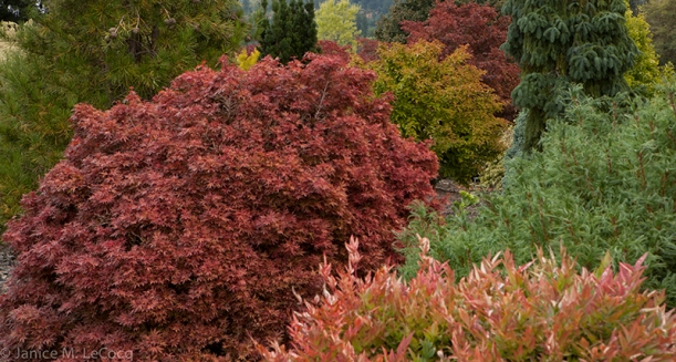 evergreen plants, conifers, foliage plants