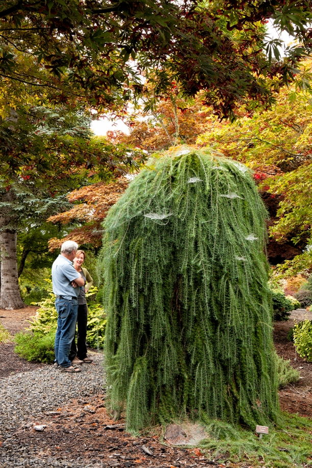 Weeping larch
