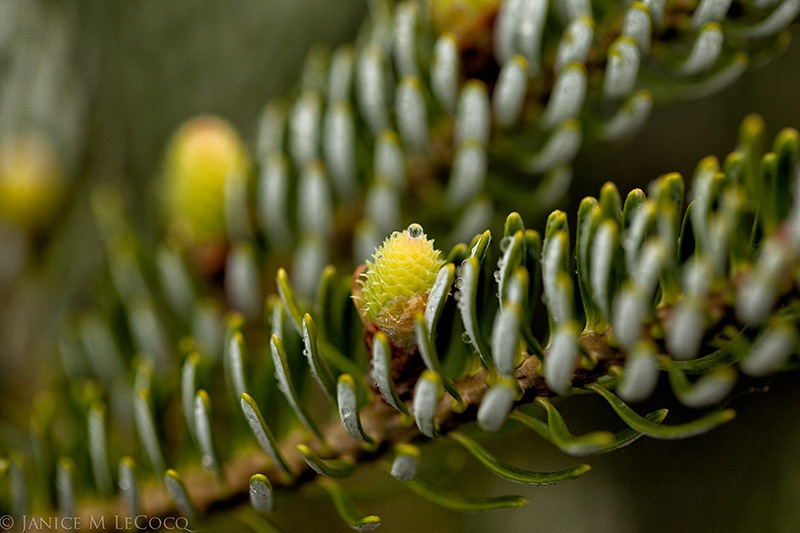 Korean fir, conifers