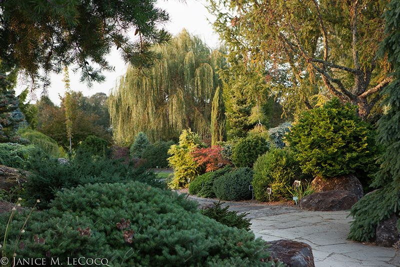 conifers, mixed foliage border, evergreen shrubs