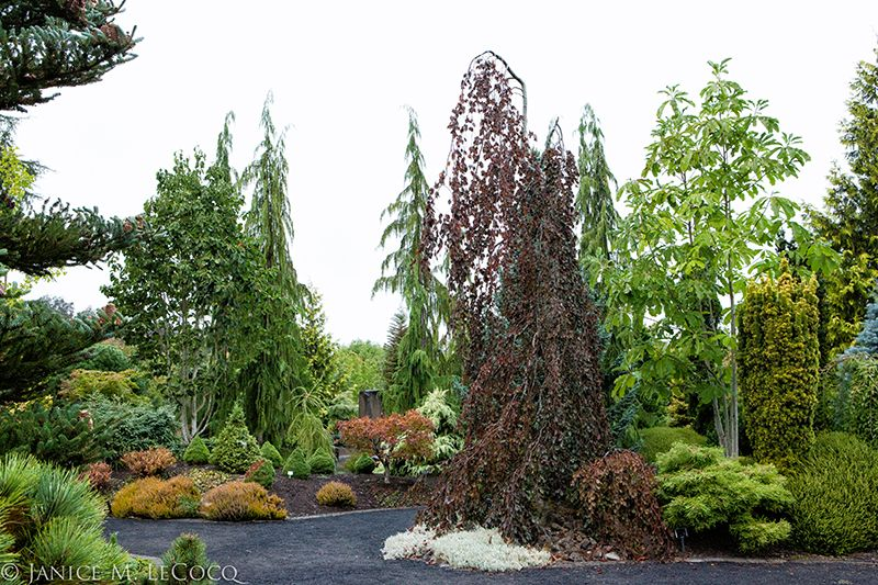 The weeping purple beech dominates this scene and its form is echoed by the group of Cupressus nootkatensis behind
