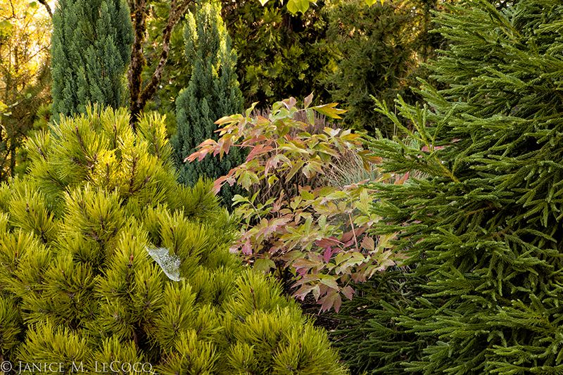 Soft color from conifers and a peony in fall foliage