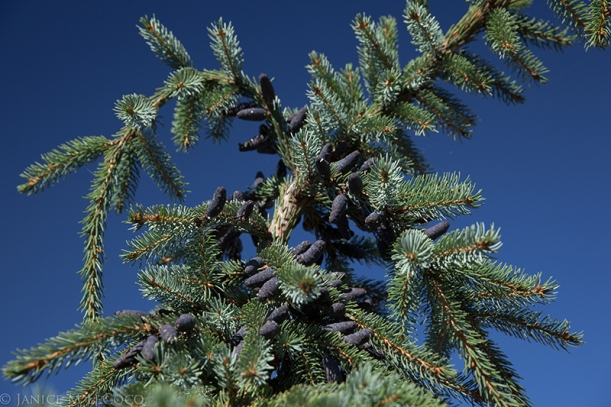 Bruns weeping spruce (Picea omorika 'Pendula Bruns') has gorgeous purple cones