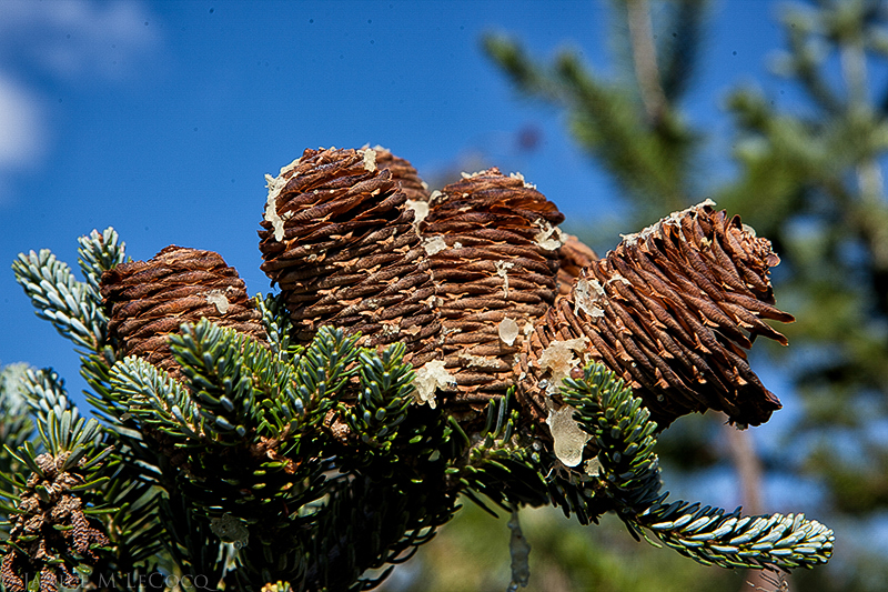 The autumn cones of 'Horstmann's Silberlocke' Korean fir shatter when touched, leaving their spindles.
