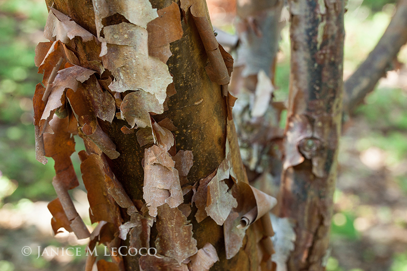 Cinnamon Bark Tree