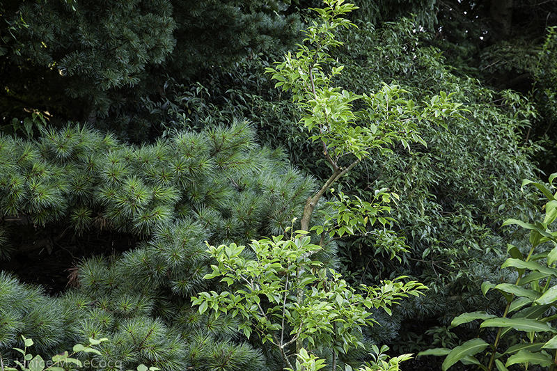 designing with foliage plants, evergreens, conifers