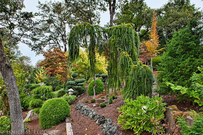 foliage garden, evergreen shrubs, conifers