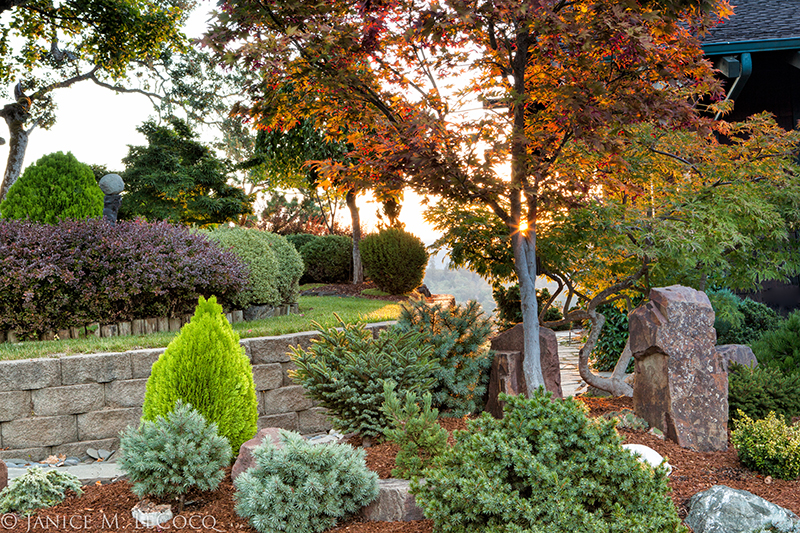 conifer gardens, foliage gardens, mixed foliage