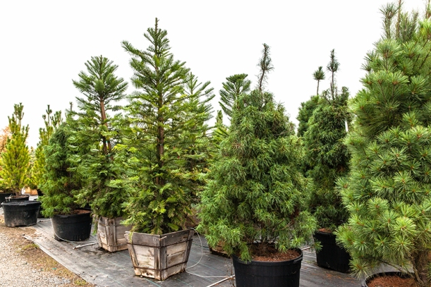 conifers, Conifer Kingdom, Rare Tree Nursery