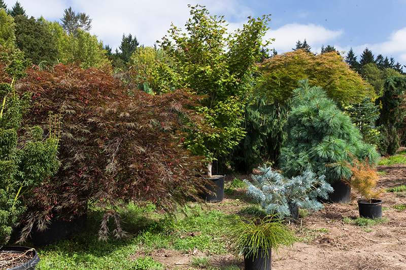 Japanese maples, Conifer Kingdom, Rare Tree Nursery