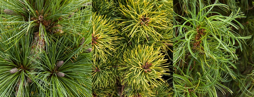 Pine trees, conifers, Rare Tree Nursery, Conifer Kingdom