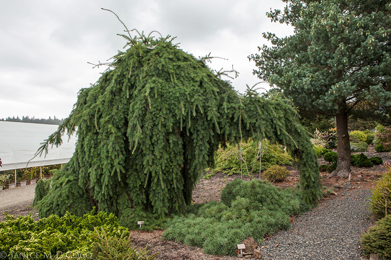 Larix deciduosa 'Pendula', conifers, weeping larch