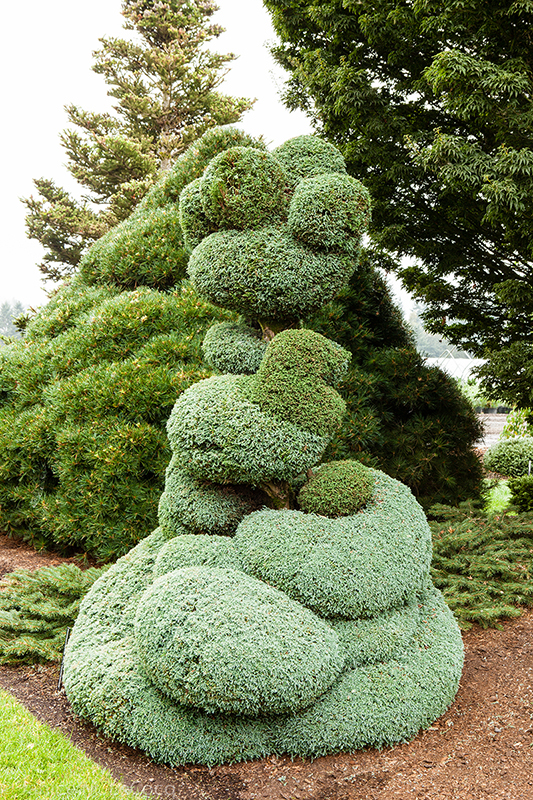 Chamaecyparis, topiary