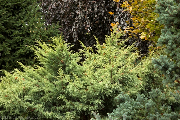 junipers, mixed foliage garden, evergreens