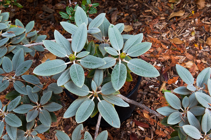 species rhododendrons, foliage plants, blue foliage, glaucous foliage