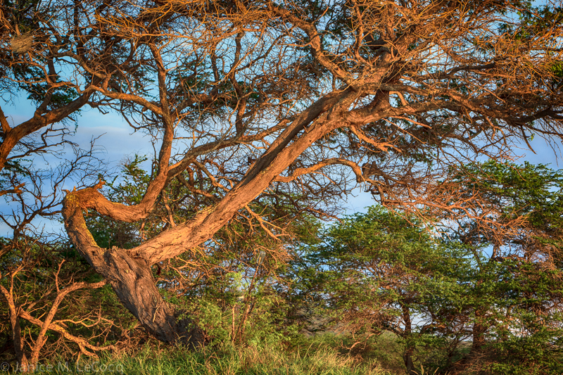 We don't generally think about large shade trees in the tropics, but they can be just as dramatic as in temperate zones.