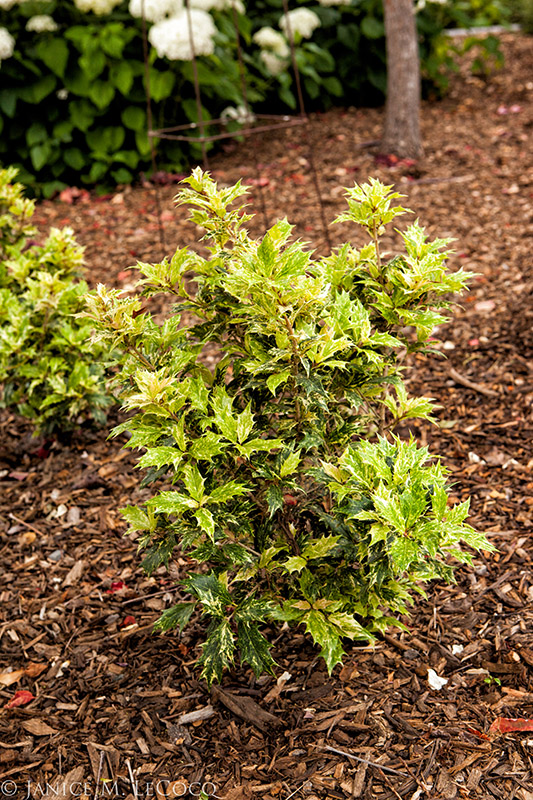 holly, variegated shrubs, evergreen shrubs