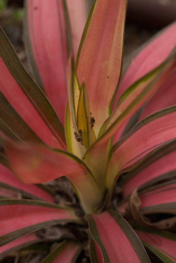 Yucca 'Walbristar' turns rosy in cold temperatures