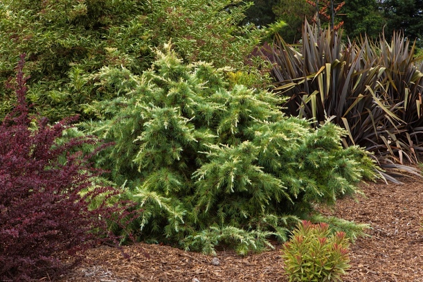 conifers, evergreen foliage
