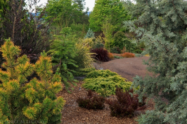 conifers, foliage gardening